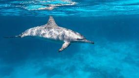 东部和平的海豚在红海 免版税库存照片