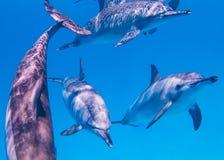 东部和平的海豚在红海 库存照片