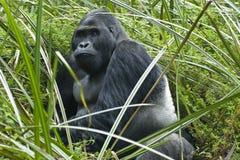 东部大猩猩低地silverback野生生物 库存图片