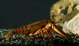 东部小龙虾, orconectes limosus 免版税库存图片