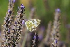 东部巴恩白色, Pontia edusa,哺养在淡紫色的蝴蝶 免版税库存图片
