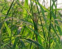 东部庭院蜥蜴,东方庭院蜥蜴,多变的蜥蜴Calotes mystaceus在有sunbath的露水的草垂悬 免版税库存图片