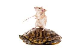 东部或阿拉伯多刺的老鼠, Acomys dimidiatus 图库摄影