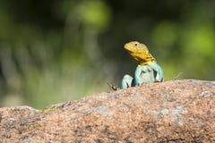 东部抓住衣领口的蜥蜴在俄克拉何马 库存照片