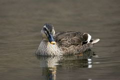 东部斑点开帐单的鸭子,语录onorhyncha 库存图片