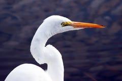 东部极大的白鹭 免版税库存照片