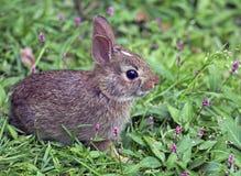 东部棉尾兔小兔子 免版税库存照片