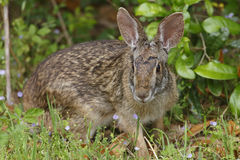东部棉尾兔Rabit -得克萨斯 免版税库存照片