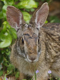 东部棉尾兔Rabit -得克萨斯 免版税库存图片