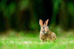 东部棉尾巴兔子北美洲兔类floridanus在英国彻尔 免版税库存照片