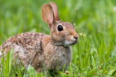 东部棉尾巴兔子,北美洲兔类floridanus,在豪华的绿色早晨草 库存图片