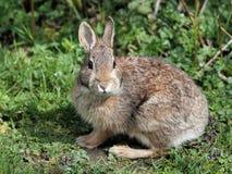 东部棉尾巴兔子 免版税库存图片