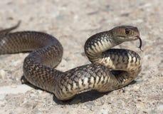 东部棕色蛇(Pseudonaja textilis) 免版税库存图片