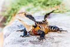 东部水龙蜥蜴,澳大利亚 免版税库存照片