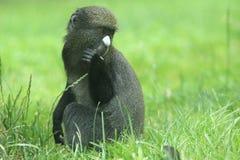 东部油灰被引导的猴子 免版税库存照片