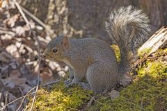 东部灰色灰鼠在森林里 库存照片
