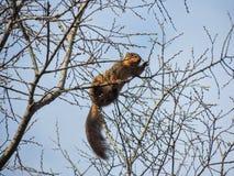 东部灰色灰鼠坐中型松鼠的carolinensis吃弹簧在树枝和蓝天背景,树枝发芽与 库存照片