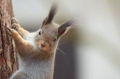 东部灰色灰鼠爬上树干的中型松鼠carolinensis 免版税库存图片