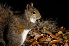 东部灰色灰鼠,中型松鼠carolinensis 库存图片