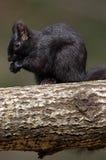 东部灰色灰鼠-黑阶段- sciuru carolinensis 库存图片