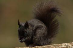 东部灰色灰鼠-黑阶段- sciuru carolinensis 免版税库存图片