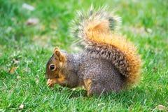 东部狐狸松鼠(中型松鼠尼日尔) 免版税库存照片