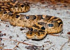 东部猪鼻蛇(Heterodon platirhinos) 免版税库存照片