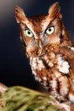 东部猫头鹰被栖息的尖叫声 免版税库存照片