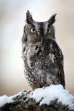 东部猫头鹰尖叫声雪 免版税库存照片