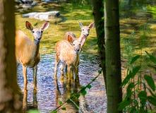 东部白尾鹿母鹿和两只小鹿在小河 免版税库存图片