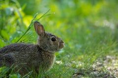 东部的棉尾兔 免版税库存图片