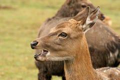 东部的鹿  库存图片