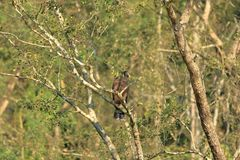 东部皇家老鹰在尼泊尔 库存图片
