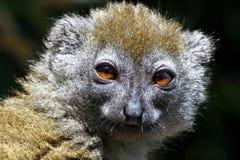 东部矮小的竹狐猴(Hapalemur griseus) 免版税库存照片