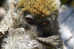 东部矮小的竹狐猴(Hapalemur griseus) 免版税库存图片