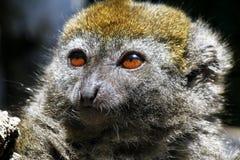 东部矮小的竹狐猴(Hapalemur griseus) 免版税图库摄影