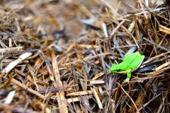 东部矮小的雨蛙 免版税库存照片