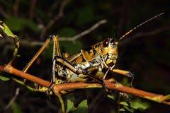 东部笨汉Grasshopper4 免版税库存图片