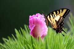 东部老虎燕子尾标蝴蝶和石竹 免版税库存图片