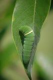 东部老虎Swallowtail幼虫 库存图片