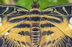 东部老虎swallowtail蝴蝶细节 免版税库存图片