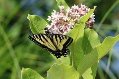 东部老虎Swallowtail蝴蝶 免版税图库摄影