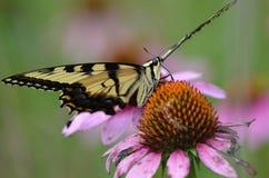 东部老虎Swallowtail蝴蝶 库存照片