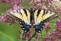 东部老虎Swallowtail 库存照片