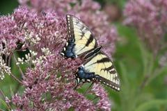 东部老虎Swallowtail 免版税库存照片