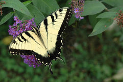 东部老虎Swallowtail (Papilio glaucus) 免版税图库摄影