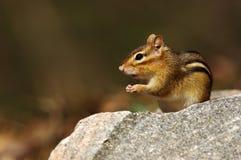 东部花栗鼠-花栗鼠类striatus 库存图片