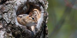 东部花栗鼠& x28; Tamias& x29;偷看从他在树的掩藏的孔 库存图片