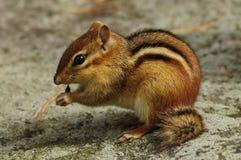 东部花栗鼠Tamius striatus哺养在阿迪朗达克森林蜜饯的,纽约 库存图片