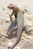 东部范围蜥蜴 免版税库存照片